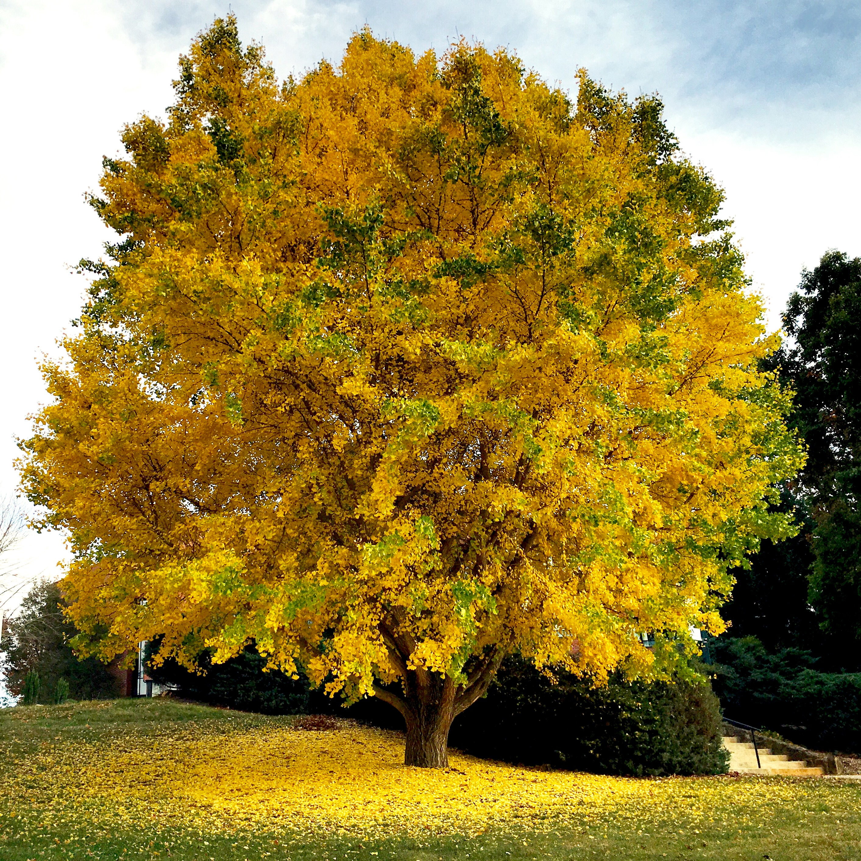 Gingko: Past and Present